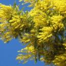 Mimosa de Messine