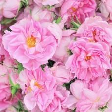 Rose of Saint Edward